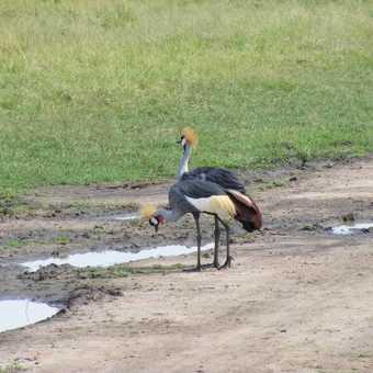 Crested Cranes Queen Elizabeth NP