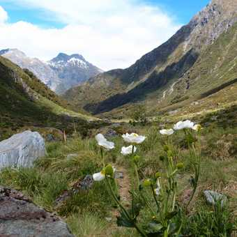 Siberia Valley Mt Cook Lily