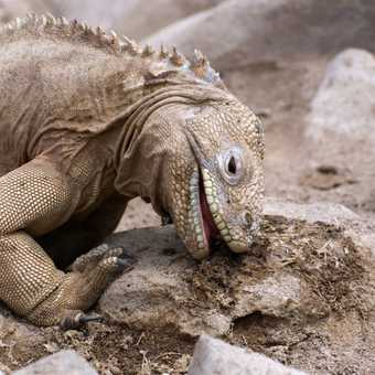 Land Iguana - skin tight!