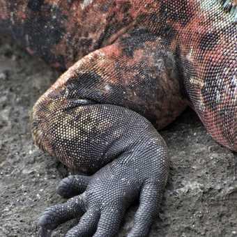 Marine Iguana Detail