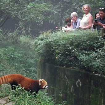 red panda onlookers