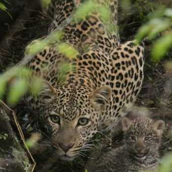 Leopard and 3-week old cubs - Mara North