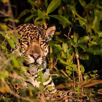 Jaguar in the Pantanal, Brazil