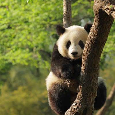 Panda, Chengdu Breeding Centre