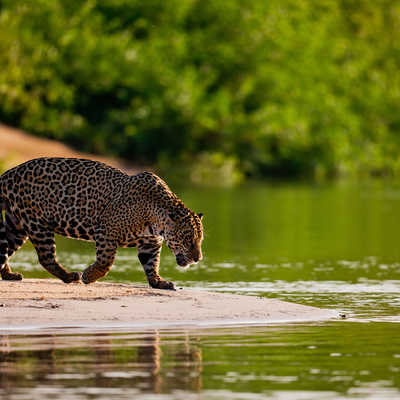 Jaguar on the water's edge, Brazil