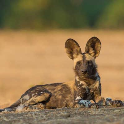Wild dog pup in Zimbabwe