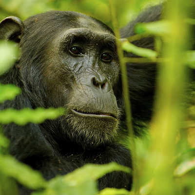 Chimpanzee in the jungle, Uganda