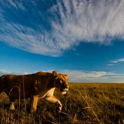 Copyright Paul Goldstein Lion Kenya Masai Mara 3 Lion, Masai Mara, Africa