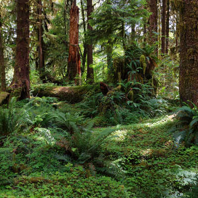 Hoh rain Forest in Washington state coast, USA