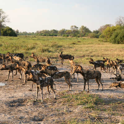 Wild dogs on the prowl