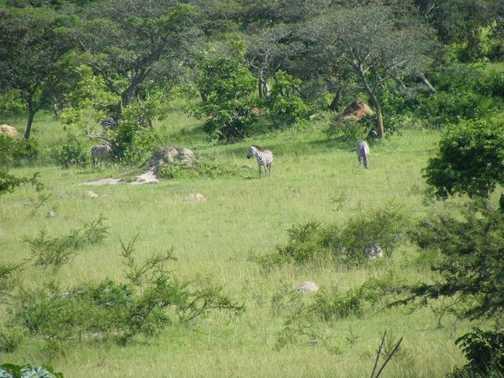 Roadside Zebra - Road to Kampala