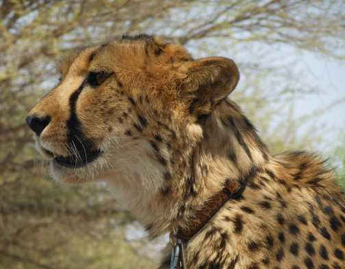 Reserve Cheetah looking for lunch