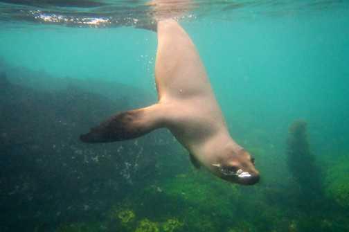 Diving Sea Lion