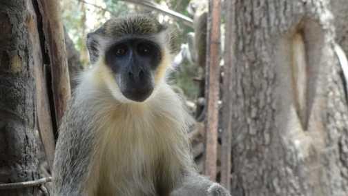 Green Monkey at Wassadoo