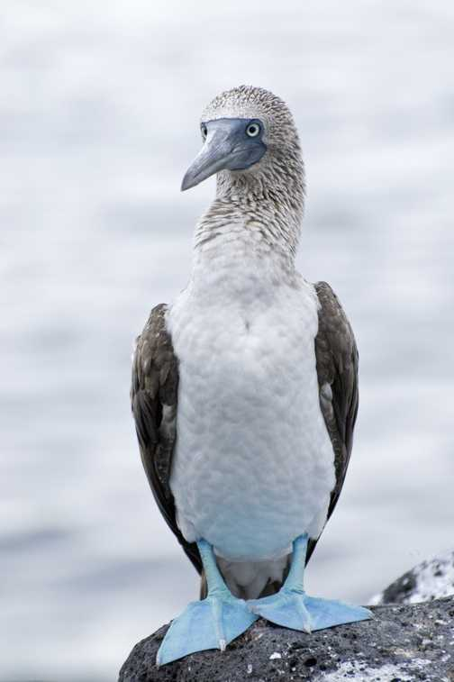 Blue Footed Boobies 2