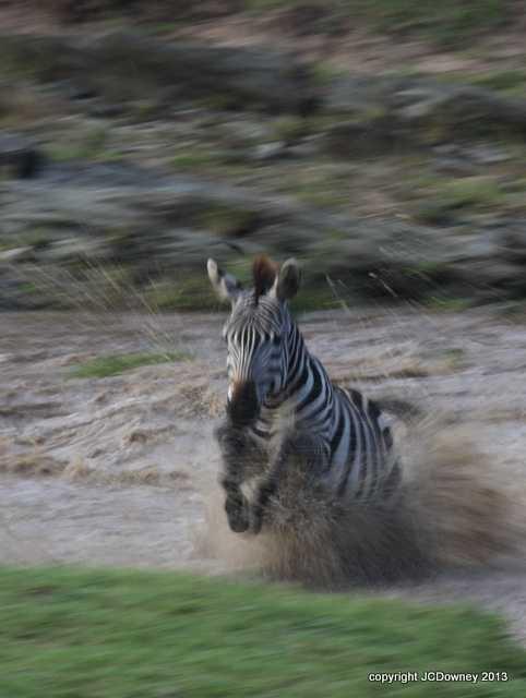 Zebra explosion!