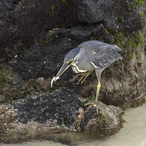 Striated Heron Fishing 2