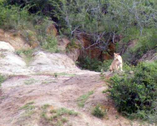 Solitary Lioness overlooking Kazinga Channel
