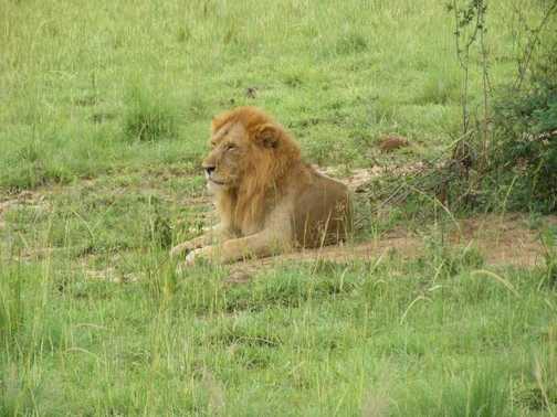Lion in Murchison Falls NP
