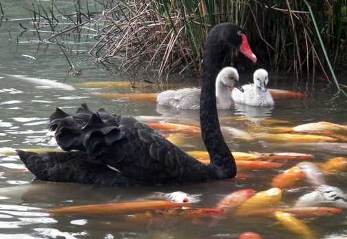 blackk swan, panda breeding centre Chengdu