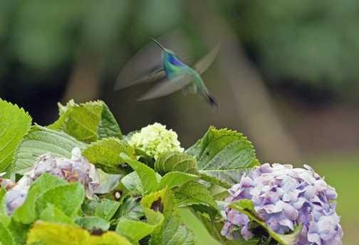 Hummingbird in a flap.
