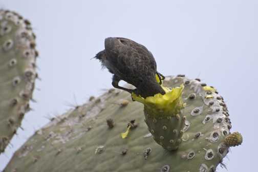 Male Cactus Finch