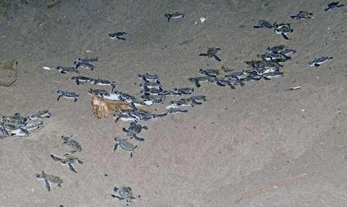 Green sea turtle hatchlings racing for the Caribbean Ocean.