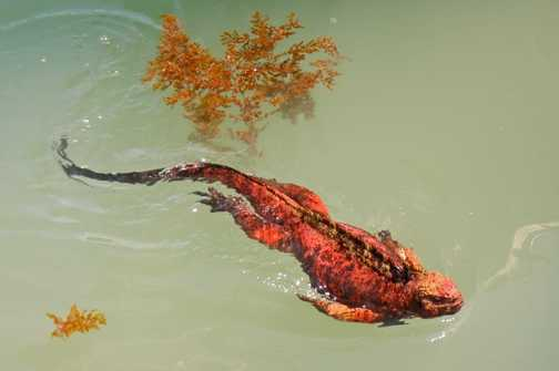 Swimming Marine Iguana