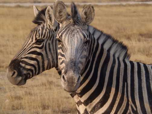 The rare 2 headed Zebra
