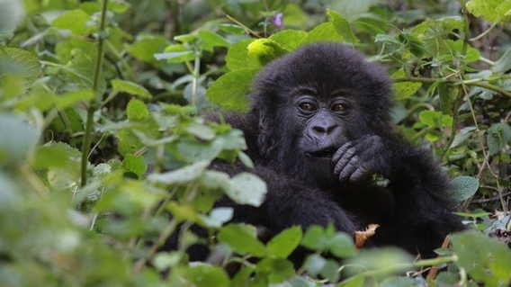 Uganda's Gorilla Census