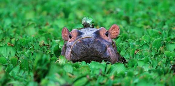 Hippo in Botswana