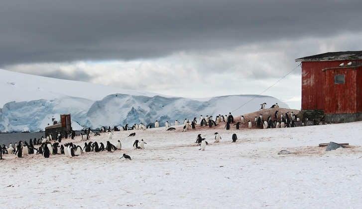 Gentoo penguin colony, Trinity Island