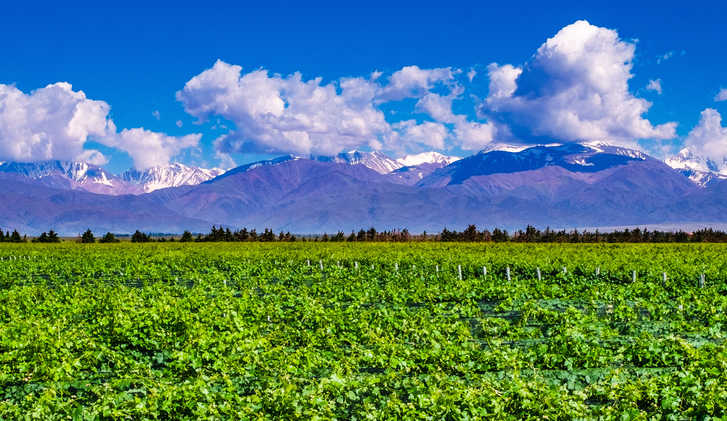 Vineyard on the foreground in Mendoza, Argentina