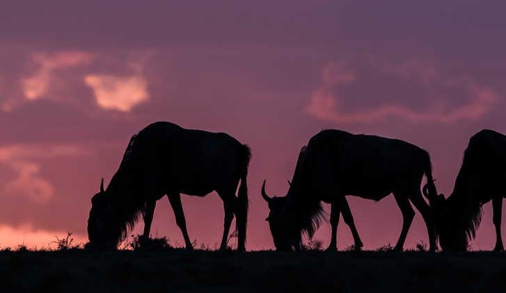 Grazing wildebeest