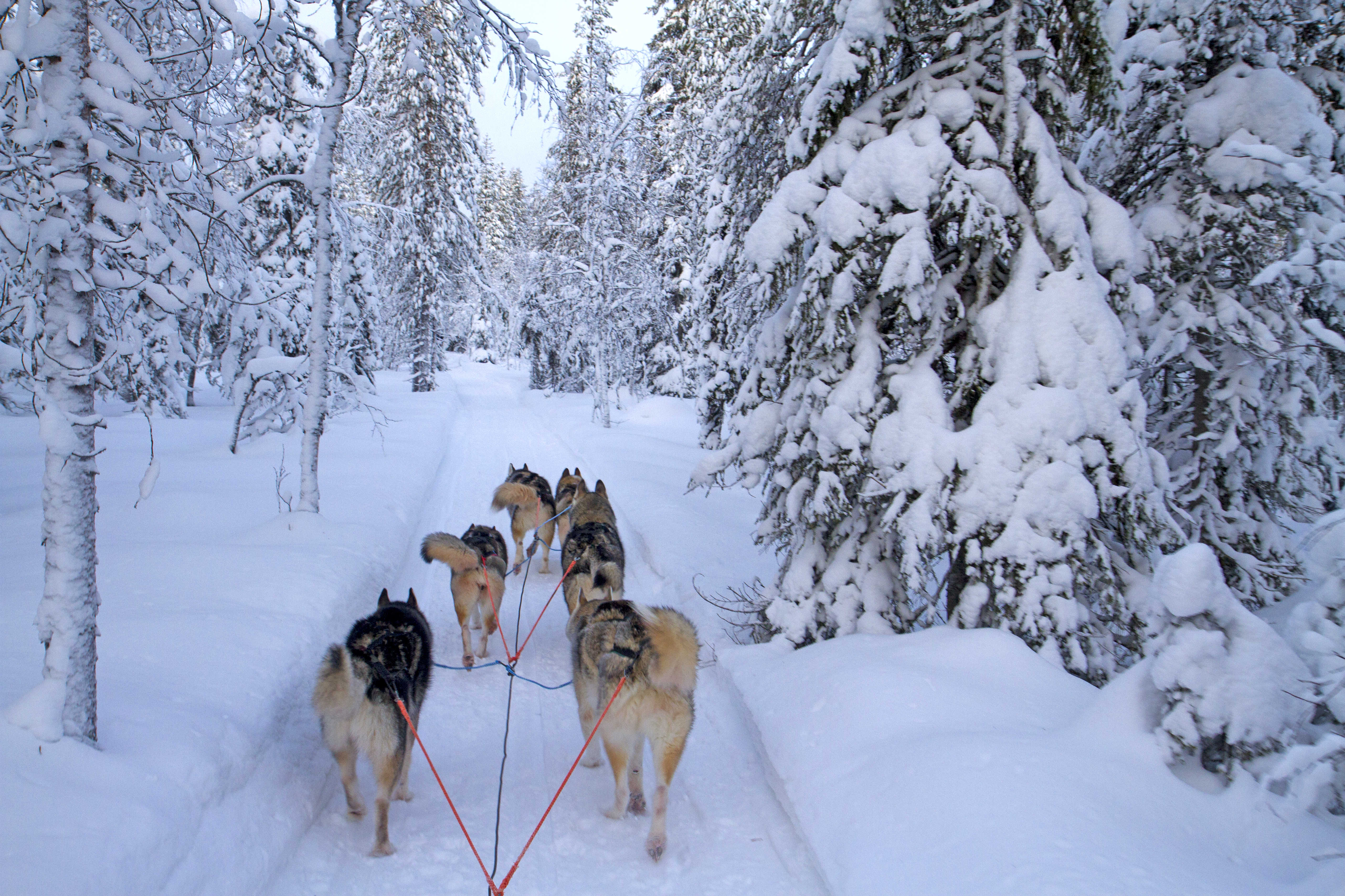 Dogsledding the Finnish forests